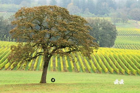 Old tire swing in hanging from a white Oak tree in a fall colored winery in the Willamette Valley near Portland Oregon photo