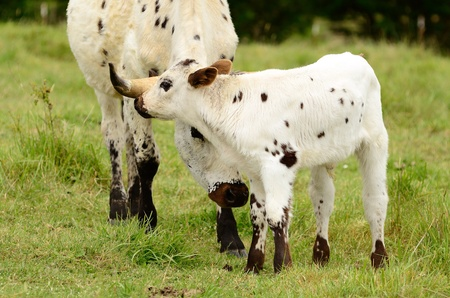 Young Texas Longhorn calf in the pasture on a warm summer morning photo