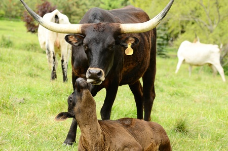 Young Texas Longhorn calf with mom  in the pasture on a warm summer morning photo