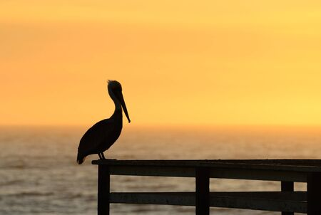 Brown Pelican, Pelecanus occidentalis, on a pier rail in Southern California at sunset