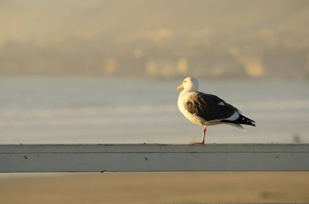 Western Gull, Larus occidentalis on overlooking the Pacific Ocean at sunset. photo