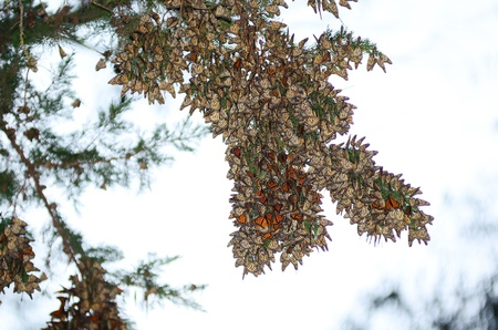 beach butterfly: A large group of Monarch Butterfies hanging on a Eucalyptus tree, Pismo Beach Grove.