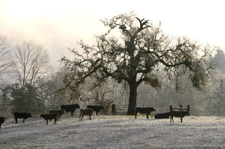 lambing: Small group of beef steers standing in a snowy field below a large oak tree near Roseburg Oregon Stock Photo