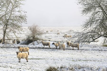 lambing: Herd of Ewes ready for lambing during a low elevation snow covered field near Roseburg Oregon Stock Photo