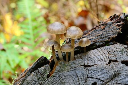 Small mushrooms growing on the stump of  Douglas Fire tree in the Umpqua National Forest near Roseburg Oregon. photo