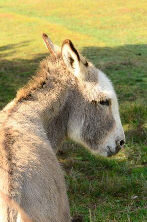 burro: A small burro at a breeding farm in Oregon Stock Photo