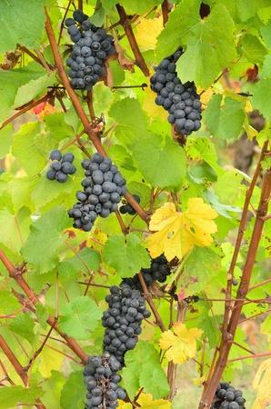 llegar tarde: Pinot Gris uvas de vino a la espera de ser cosechadas a fines de octubre en una bodega de Umpqua Valley, cerca de Roseburg Oregon, Foto de archivo