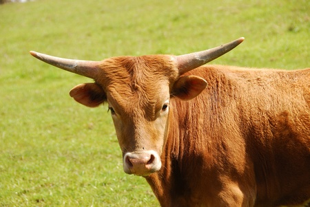 Texas Longhorn steers in a spring field in the Umpqua Valley near Roseburg Oregon photo