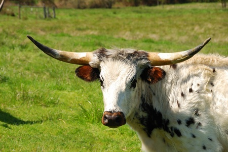 longhorn cattle: Texas Longhorn cattle in a field of green in the Umpqua Valley near Roseburg Oregon Stock Photo