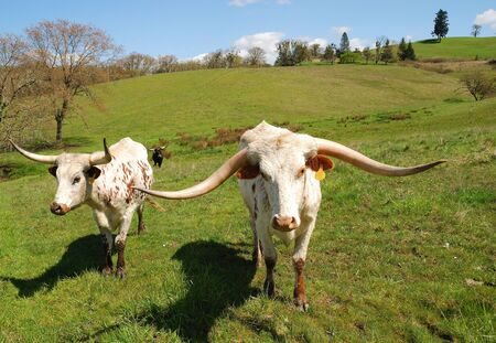Texas Longhorn cattle in a field of green in the Umpqua Valley near Roseburg Oregon photo