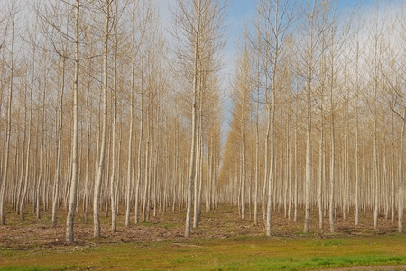 A large plantation of Pacific Albus, a fast growing poplar tree, near Boardman Oregon Stock Photo - 12350877
