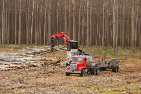 Logging of A large plantation of Pacific Albus, a fast growing poplar tree, near Boardman Oregon Stock Photo - 12350976