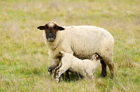 Oregon spring lambs in a ranch pasture Stock Photo - 12686967