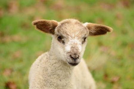 Oregon spring lambs in a ranch pasture photo