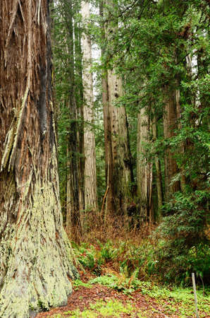 Redwood trees along the Avenue of the Giants, Hwy 101 in the Northern California Coastline photo