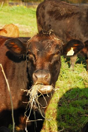 Angus cross beef cattle in a small field near Eugene Oregon -  Calf are cross with Piedmontese  photo