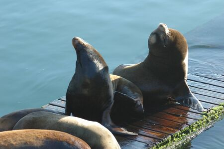 Northern Sea Lion,  Steller Sea Lion , Eumetopias jubatus, on the docks on waterfront of Newport Oregon Imagens