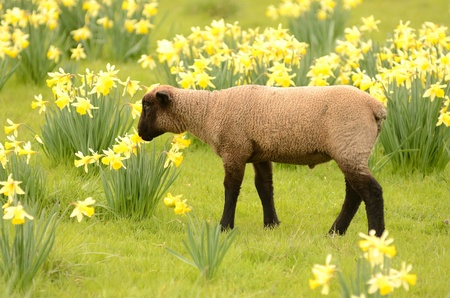 spring lambs: Suffolk lambs in a spring Oregon pasture Stock Photo
