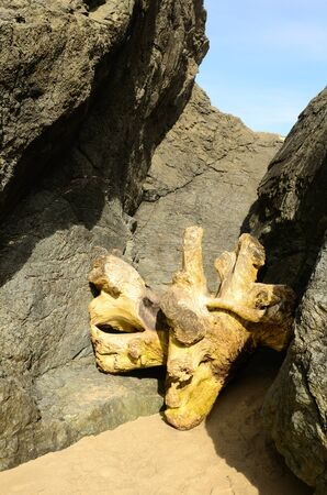 Large root wad that was caught in between two large basalt rock stacks photo