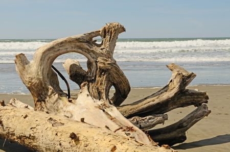 washed: Interesting root wad driftwood on the beach near Bandon Oregon