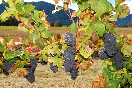 ripen: Wine grapes hanging in the Henry