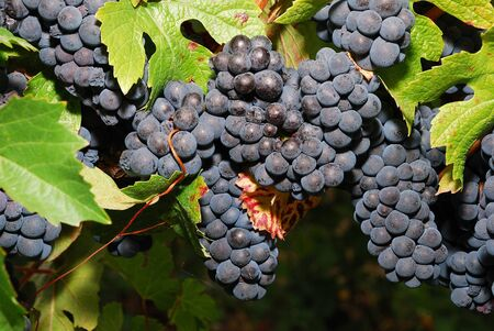 pinot noir: Pinot Noir Pom grapes waiting to be picked at the Henry Estate Winery located in Umpqua Oregon just NW from Roseburg in the Umpqua Valley Wine Region. Stock Photo