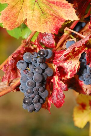 Pinot Noir Pom grapes waiting to be picked at the Henry Estate Winery located in Umpqua Oregon just NW from Roseburg in the Umpqua Valley Wine Region. Stock Photo