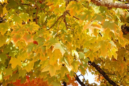 norway maple:  Norway Maple Along the Road  Acer platanoides, in fall colors, along Stewart Park Drive, Roseburg OR