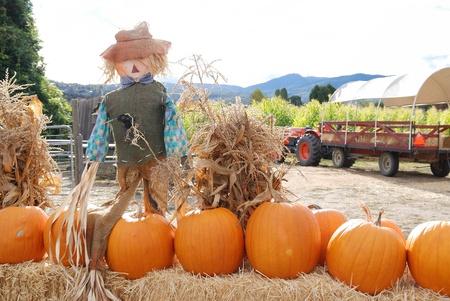 ハロウィーンのカボチャおよびかかしのシーン 写真素材