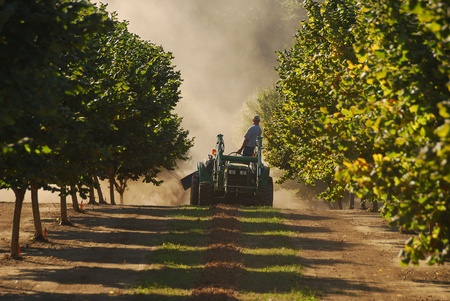 A tractor pulls a machine that picks up the hazelnuts Umpqua Valley orchard near Roseburg Oregon.