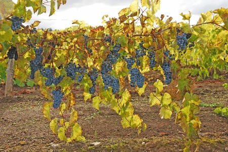 wine road: Wine grapes waiting to be harvested during a recent rain storm at Giradet Wine Cellars in the Tenmile area west of Roseburg Oregon on Reston Road.