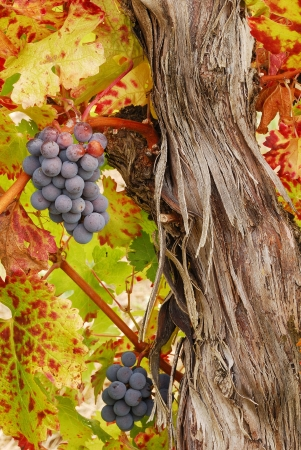 Cabernet Franc grapes waiting to be picked and made into wine at Henry Estate Winery in Umpqua, near Roseburg Oregon in the great Umpqua Valley wine growing region.