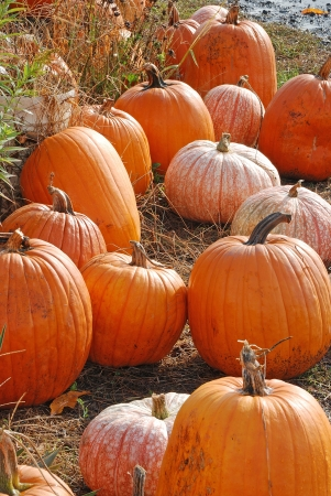 Superior Pumpkins following Halloween at Brozio Farm Stand in Winston OR