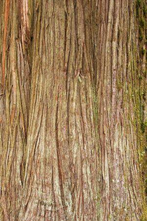 Bark of a Western Redceda, Thuja plicata,  tree trunk in the North Umpqua National Forest