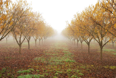 agricultural area: Young filbert orchard in the Garden Valley agricultural area of Roseburg OR during early morning winter fog