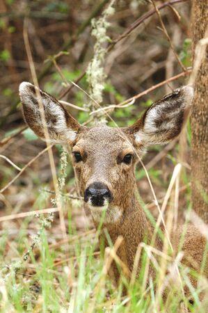 brush tailed: Large Black Tailed  Odocoileus hemionus , Mule Deer subspecies,  Doe in the brush, Stewart Park Duck Pond, Roseburg Oregon
