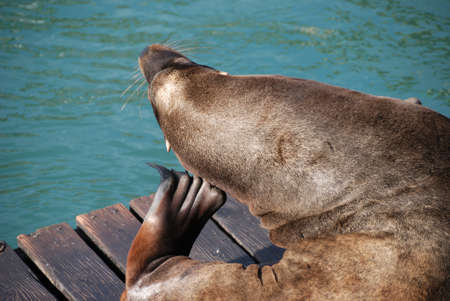 pinniped: Getting That Itchy Spot, California Sea Lion, Zalophus californianus, on the Dock behind Undersea World Gardens, Newport OR