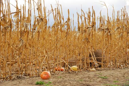 agricultural area: Old corn stalks and discarded pumpkins in an agricultural area just nort of Pasco Washington on Hwy 395  Stock Photo