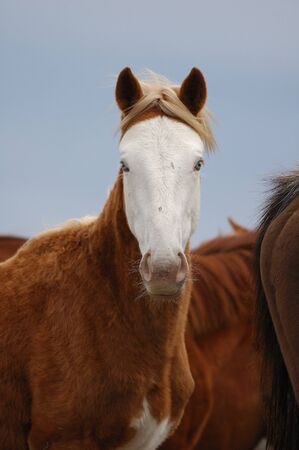 wildllife: Wild horses, Equns caballus, from the famous Kiger Herd, Malheur National Wildllife Refuge, Burns   Hines Oregon Stock Photo