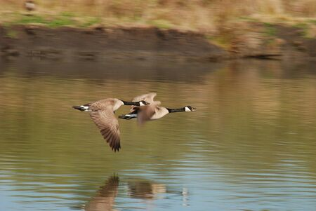 Canadian geese Branta canadensis,flying over a pond 版權商用圖片