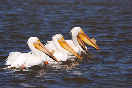 American White Pelican, Pelecanus erythrorhynchos, on Upper Klamath Lake near Klamath Falls Oregon Stock Photo - 17872586