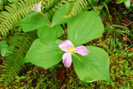 Western Wake Robin or Trillium, Trillium ovatum along Cavitt Creek in the North Umpqua River drainage near Glide OR   Flower is initially white and turns pink or redidish with age  Stock Photo
