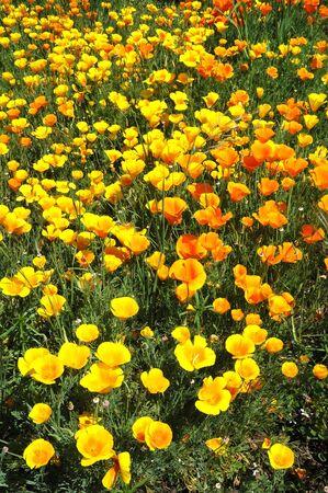 California Poppy, Eschscholzia californica, in a field in the Garden Valley area, Roseburg OR Stok Fotoğraf