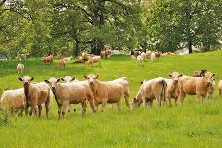 steers: Very curious Brangus Steers in a Field off of Old Brockway Road near Winston OR