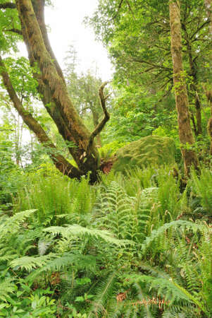 silver fern: Oregon Myrtle Tree and Fern Forest in Golden and Silver Falls State Natural Area near Coos Bay OR