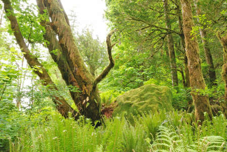 Oregon Myrtle Tree and Fern Forest in Golden and Silver Falls State Natural Area near Coos Bay OR photo