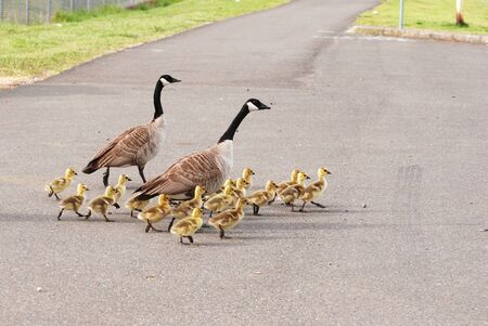 gosling: Goslings taking a walk, Canada Geese, Branta canadensis, at the Stewart Park Duck Pond in Roseburg OR off of Garden Valley Blvd   Stock Photo