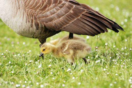 Goslings feeding in the grass. Canada Geese, Branta canadensis, at the Stewart Park Duck Pond in Roseburg OR off of Garden Valley Blvd. during the early spring photo