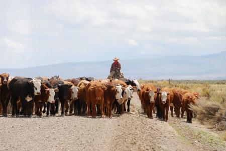 約 50 頭の雄鹿山国立野生生物保護区を通して砂利道を牛を放牧孤独なカウボーイ 写真素材 - 18943134