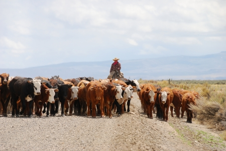 A lone cowboy herding about 50 head of cattle down the gravel road through the Hart Mountain National Wildlife Refuge Stock Photo